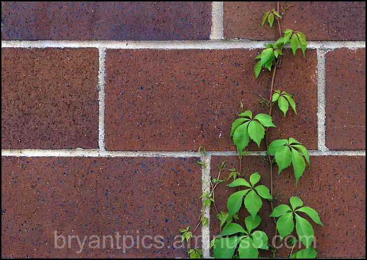 Vine climbing brick wall