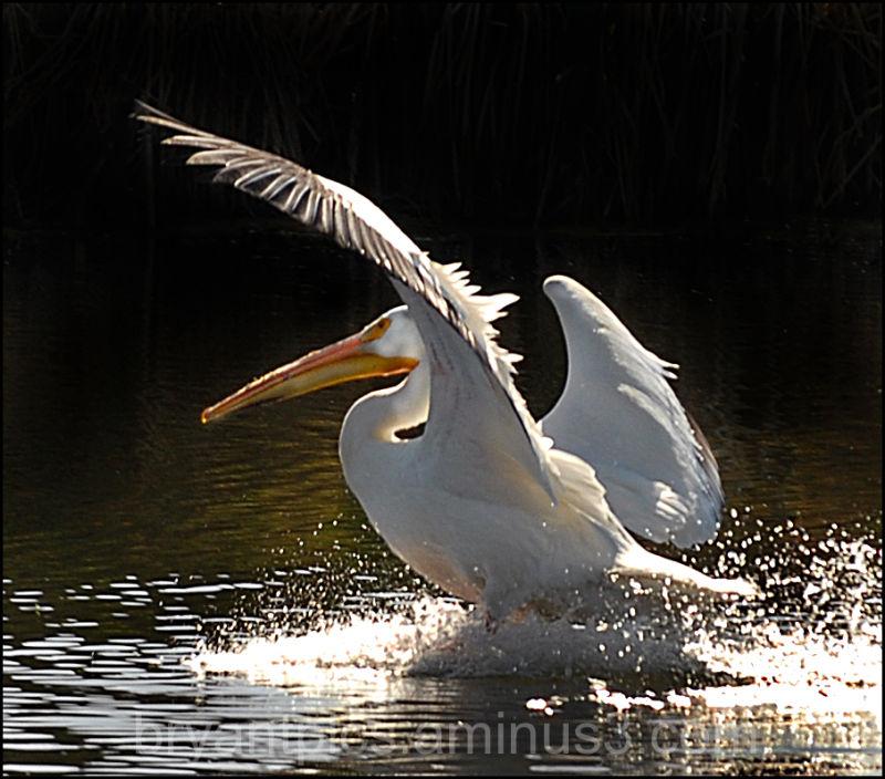 Pelican landing in pond