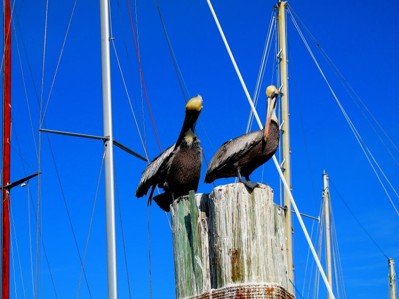 Pelicans sitting on a post in the ocean