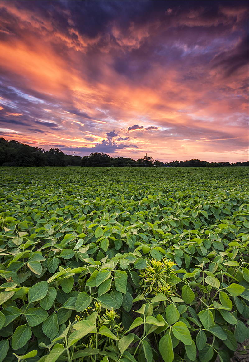 crops on a farm at sunset
