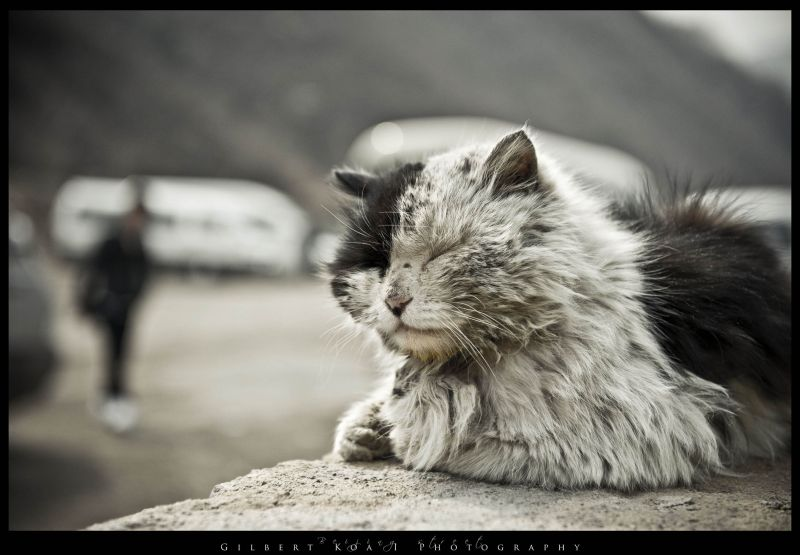 cat along the road of great wall