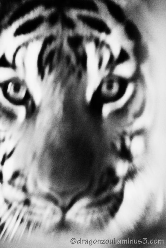 Tiger's Stare