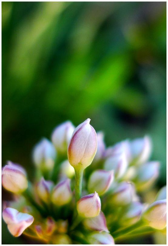 flower chives vegetable
