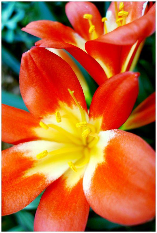 clivia flower bloom