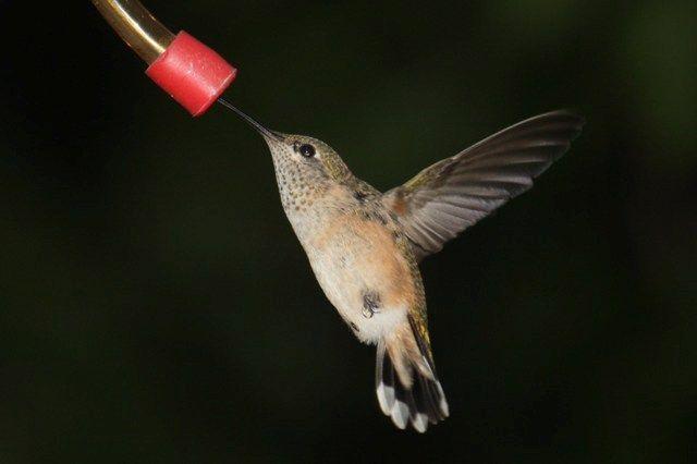 Last of the hummingbirds.