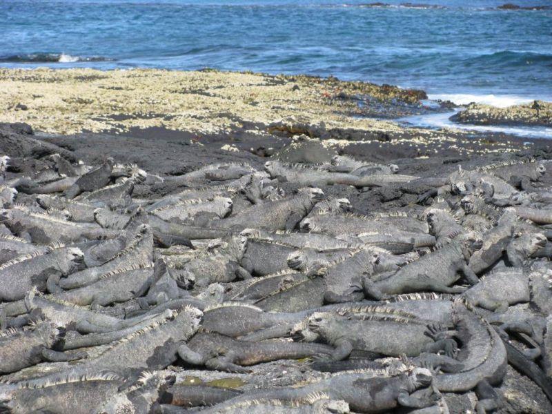 marine iguana herd