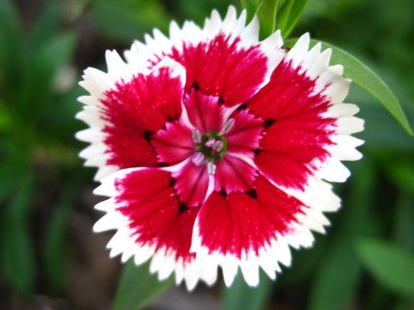 pink & whit flower