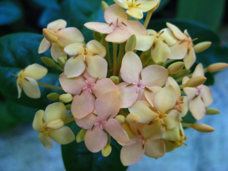 yellow hydrangea