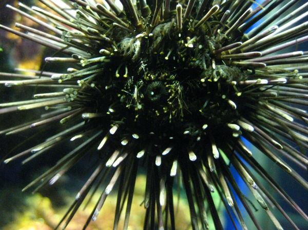 urchin on window