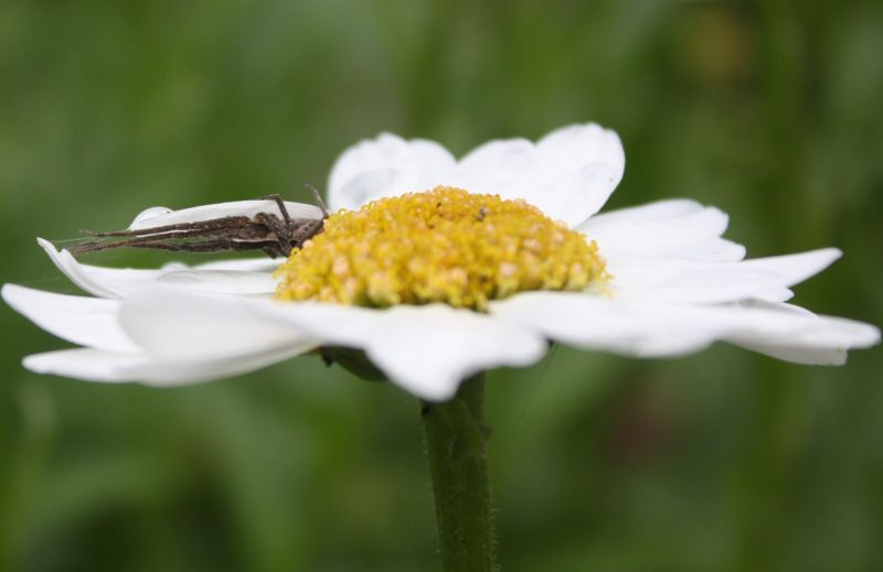 spider under petal