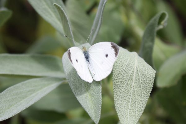 white clouded butterfly