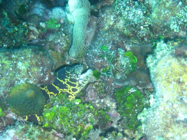 chain moray