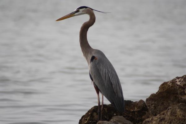 great blue heron on rocks