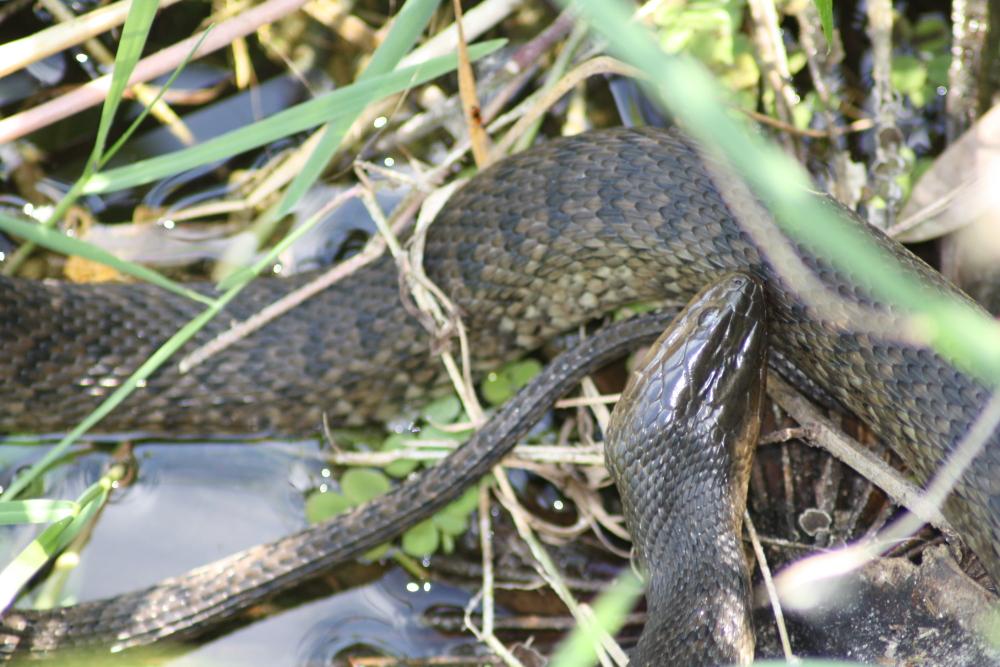 Green Water Snake