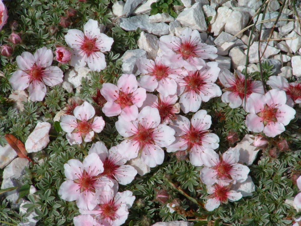 Triglav Peak, wild roses