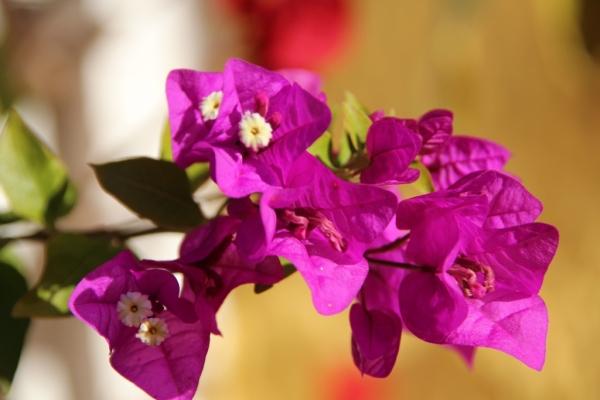 Detalle flor de buganvilla
