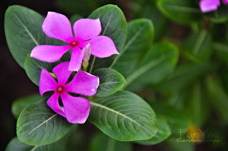 pink flower philippines