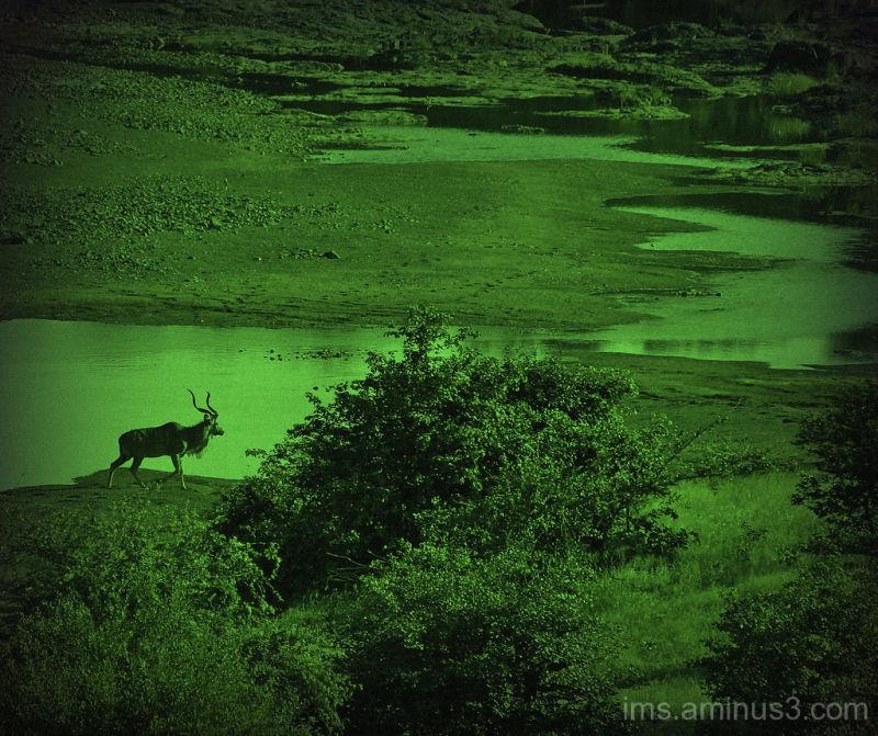 lone kudu