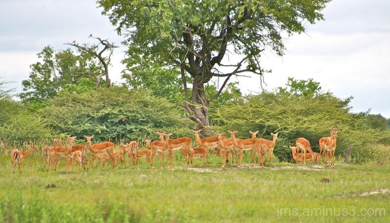impala lineup