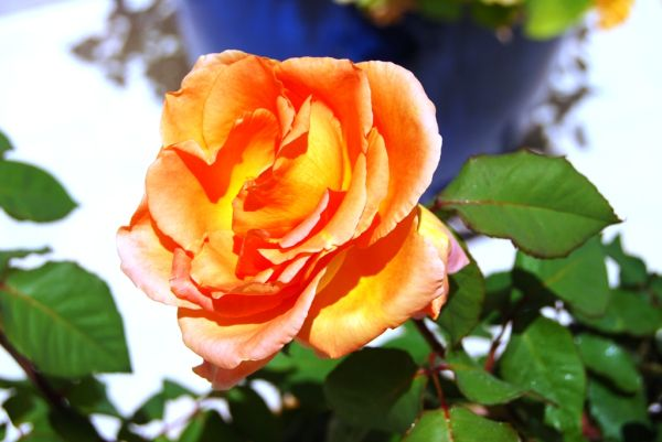 A minha rosa