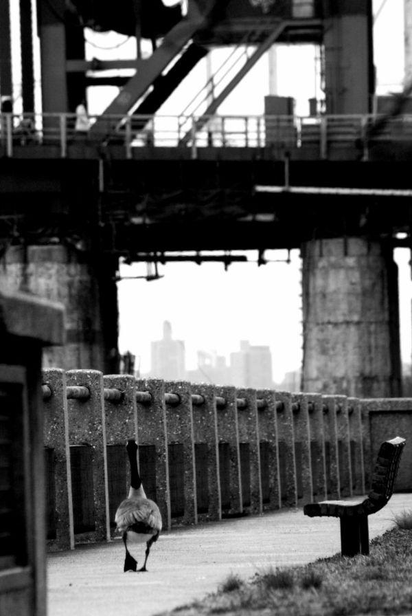 tales of a lost goose - Queensboro Bridge, NYC