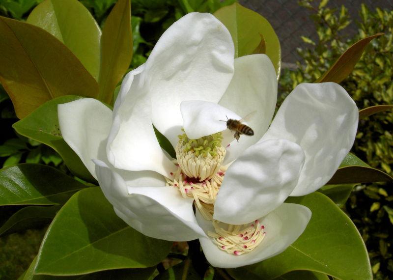L'abeille et le magnolia