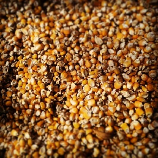 granos de maiz