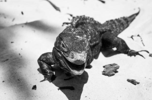 iguana sonriendo