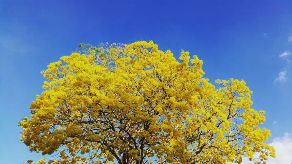 Amarillo #3