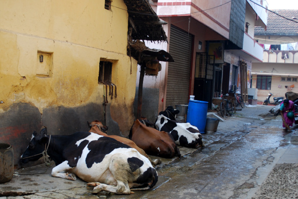 monday morning cowcow