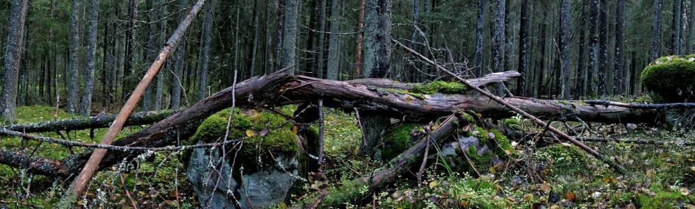 Kaatunut puu / A fallen tree