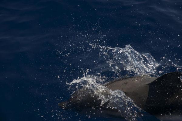 Dolphin III
