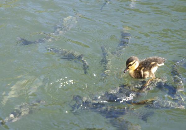 Les papattes hors de l'eau