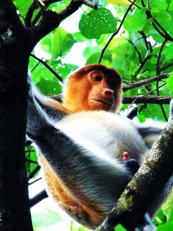 A young proboscis monkey