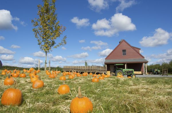 pumpkins on a Hudson Valley farm