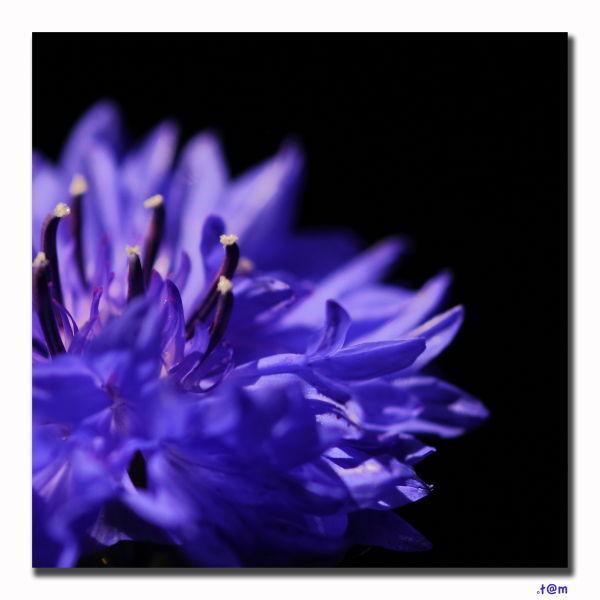 Cornflower 2/2