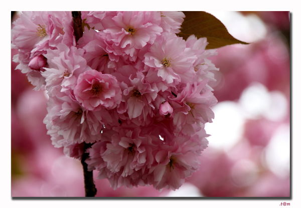 Cherry Blossoms 2/2