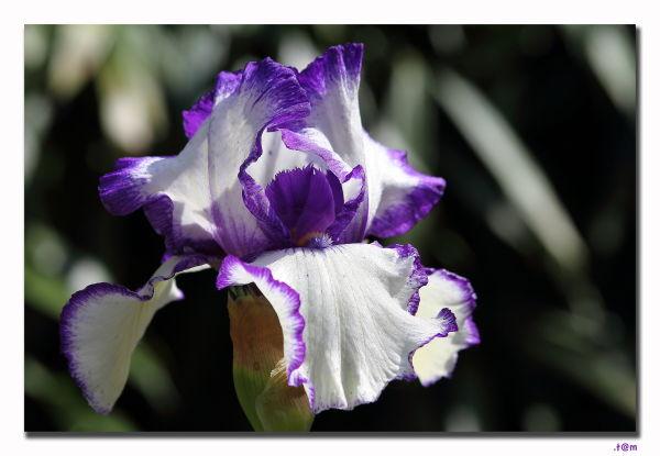 Iris 1/2