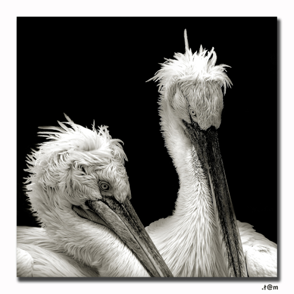 Pelican zoo antwerp