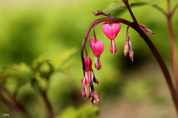 Bleeding hearts (2/2)