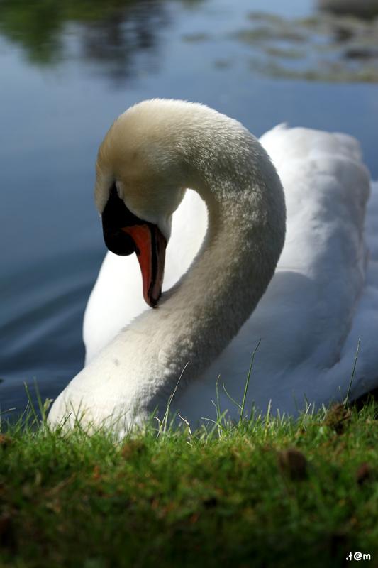 Swan (1/3)