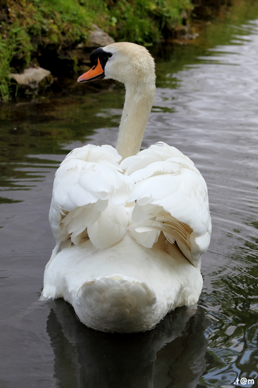 Swan (3/3)