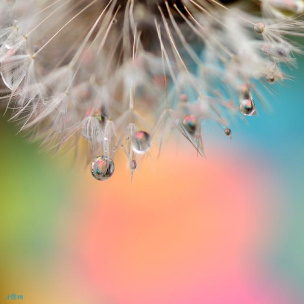 Droplets in dandelion