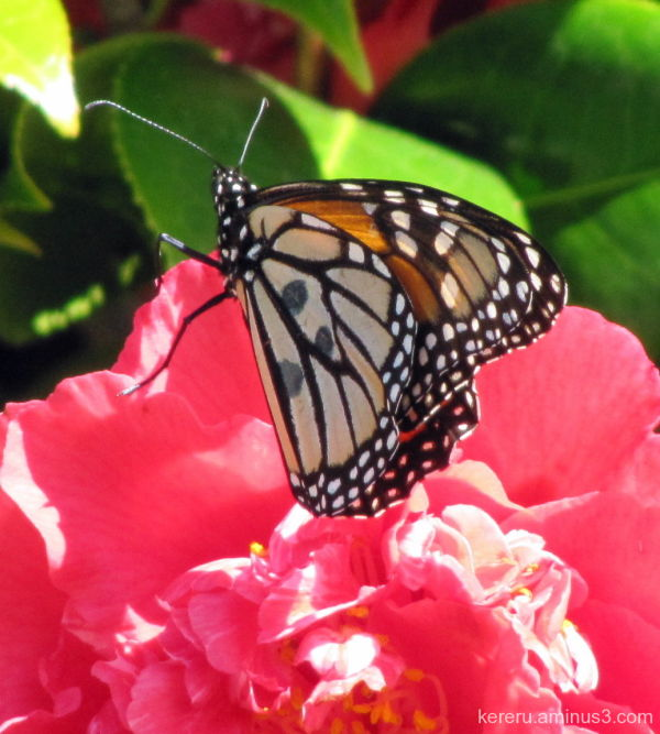 butterfly on camellia
