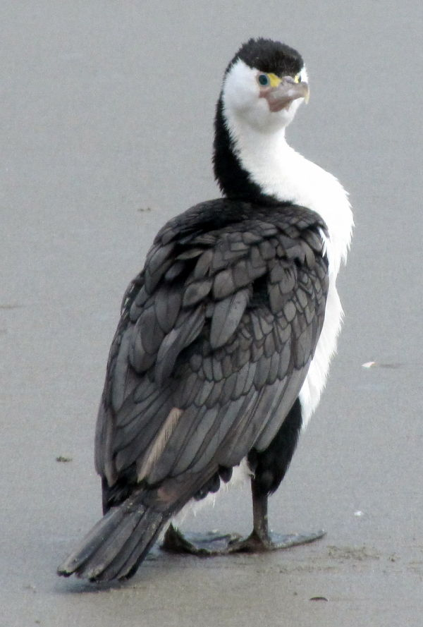 Pied Shag on Rabbit Island Beach