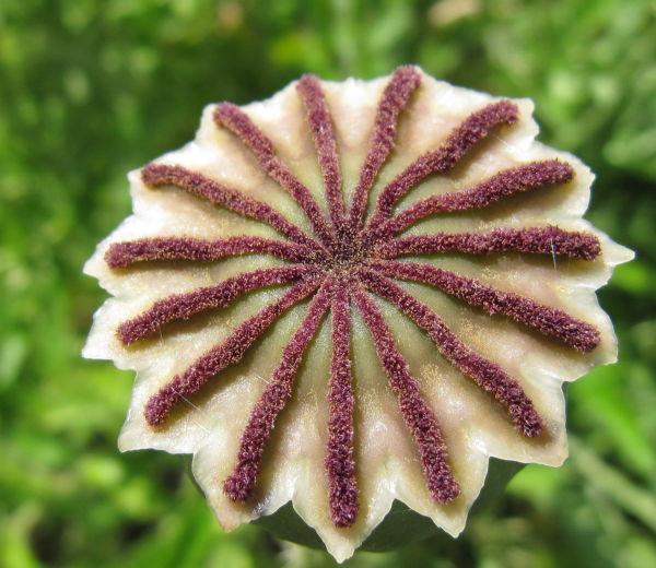Poppy capsule