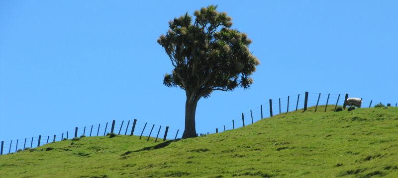 Cabbage Tree