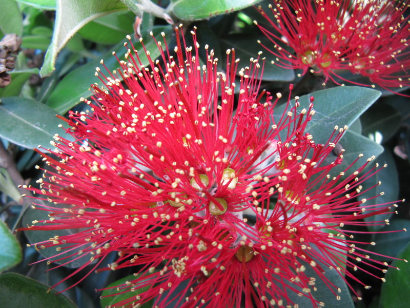 Pohutakawa Flowers