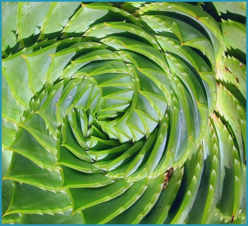 spiral agave