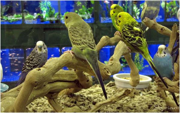 Petshop Parakeets